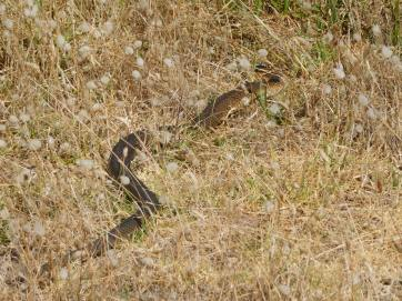 Close encounter with this snake walking out to the seal colony