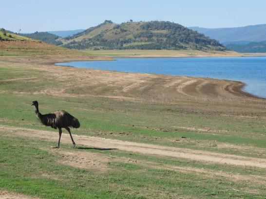 Emu at Blowering
