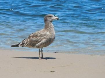 Gull at Lakes entrancce good