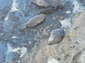 Lazy seals at Bridgewater