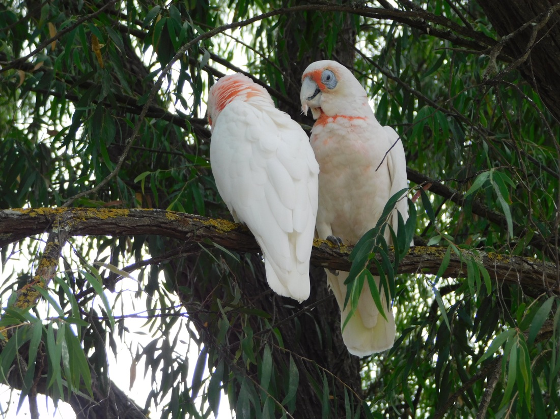 Long billed Corellas narracoorte