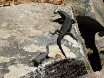 More reptiles on balconies walk