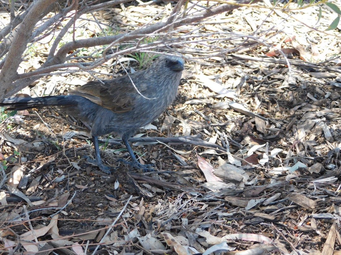 Our first apostlebird Warrumbung