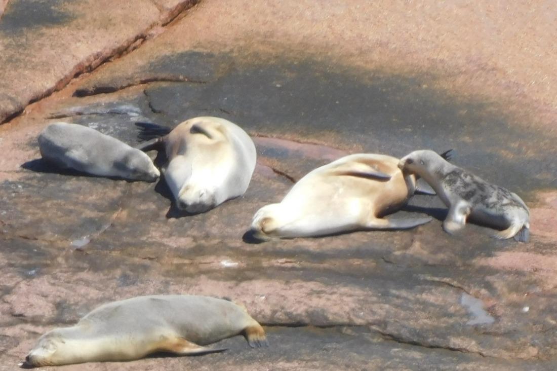 Baby suckling at the sealion colony Baird Bay