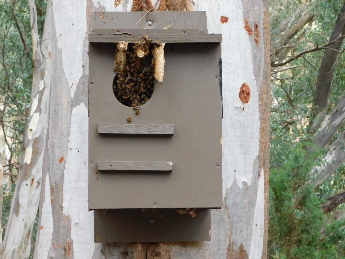 Beehive in nest box at Wilpena