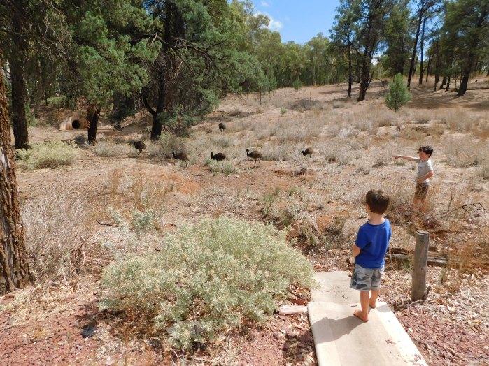 Bush maths - how many blackhead emus with their dad