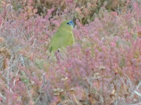 Carrow Wells - maybe a rock parrot