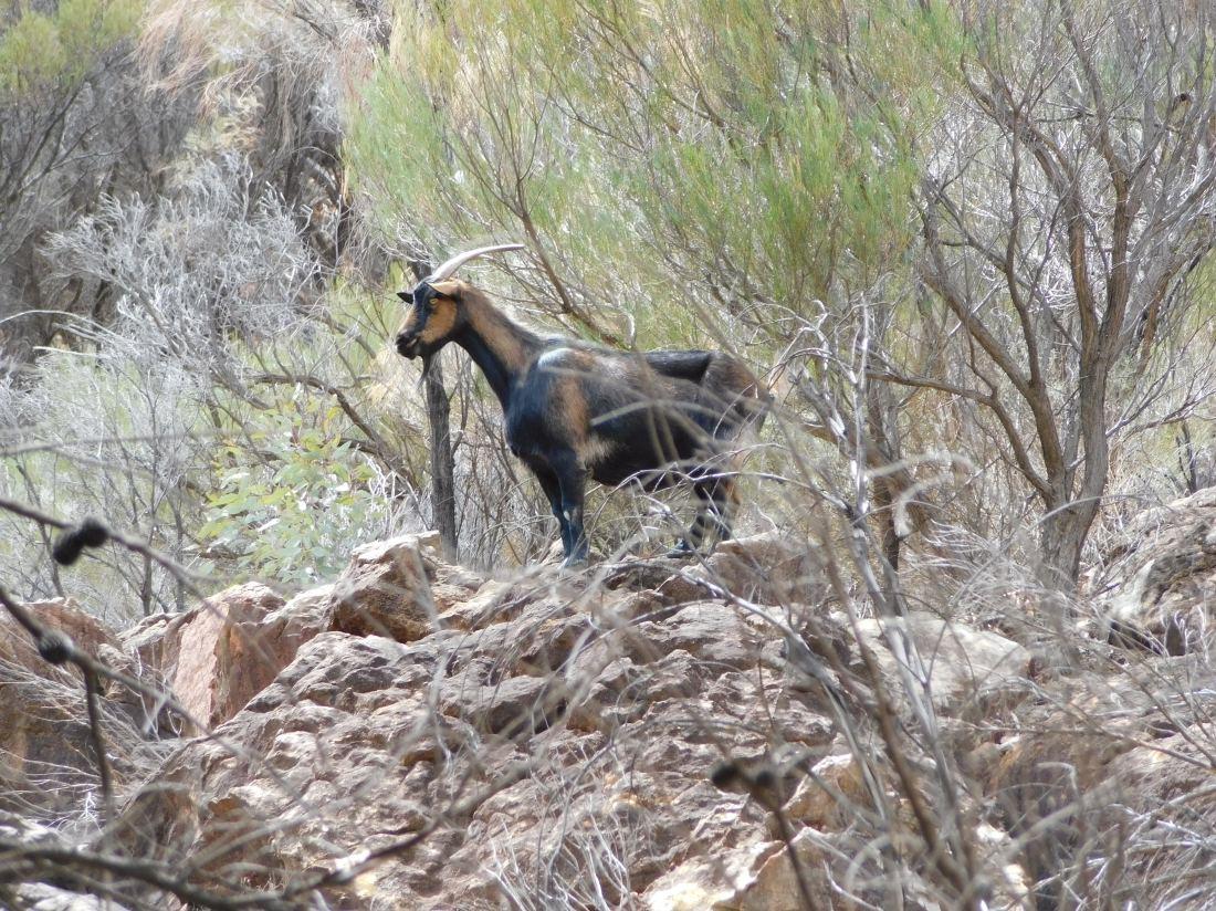 Goat on rocks at Wilpena Pound