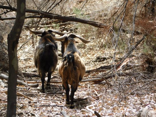 Goats at Wilpena Pound