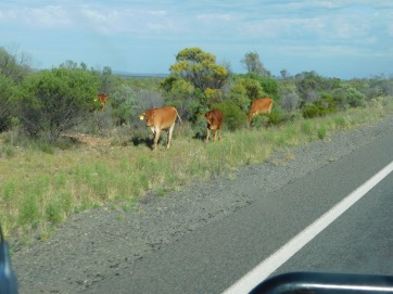 Nullabor - cattle on the road