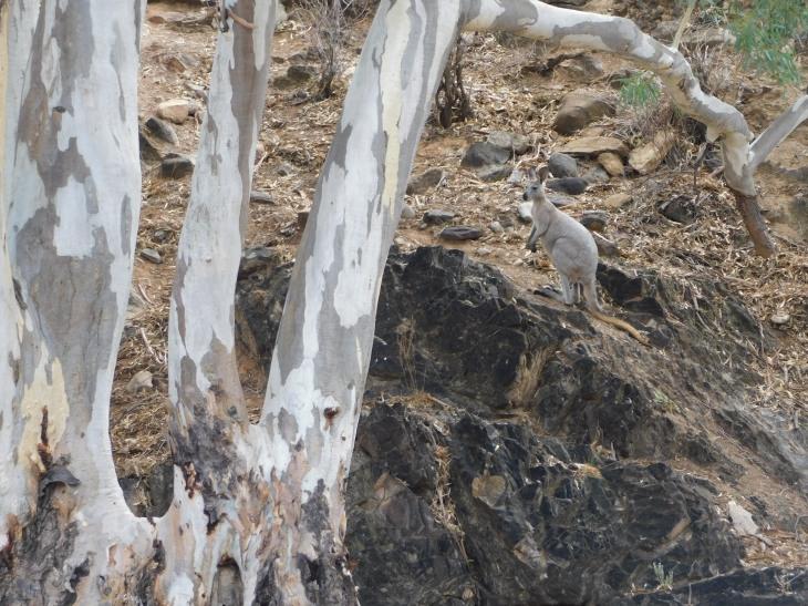 Parachilna wallaby