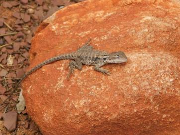 Wilpena gecko