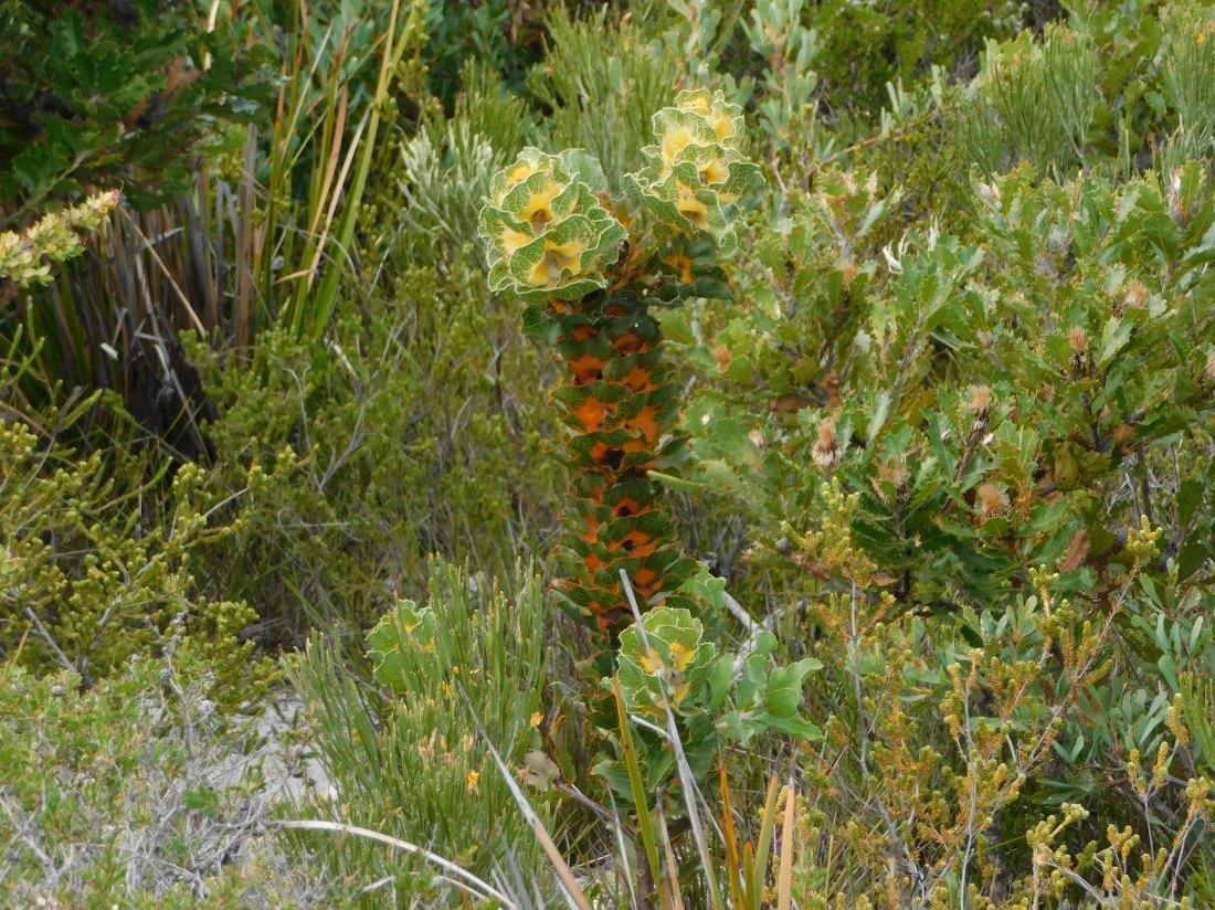 Fitzgerald River amazing plants like this Hakea