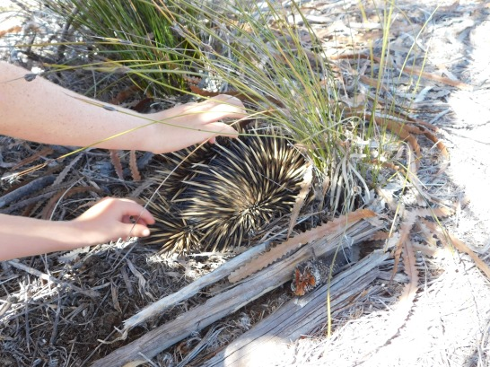 Kalbarri echidna burrowed in