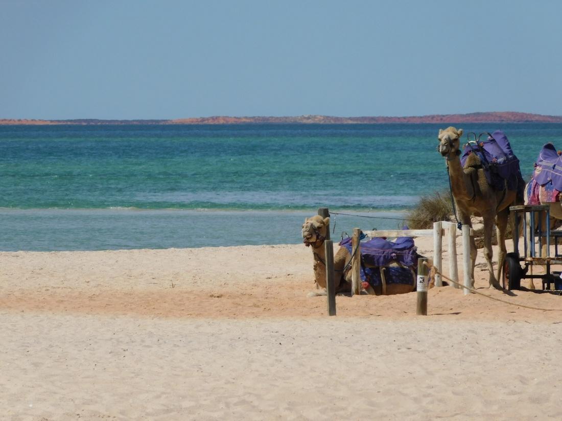 Monley Mia camels