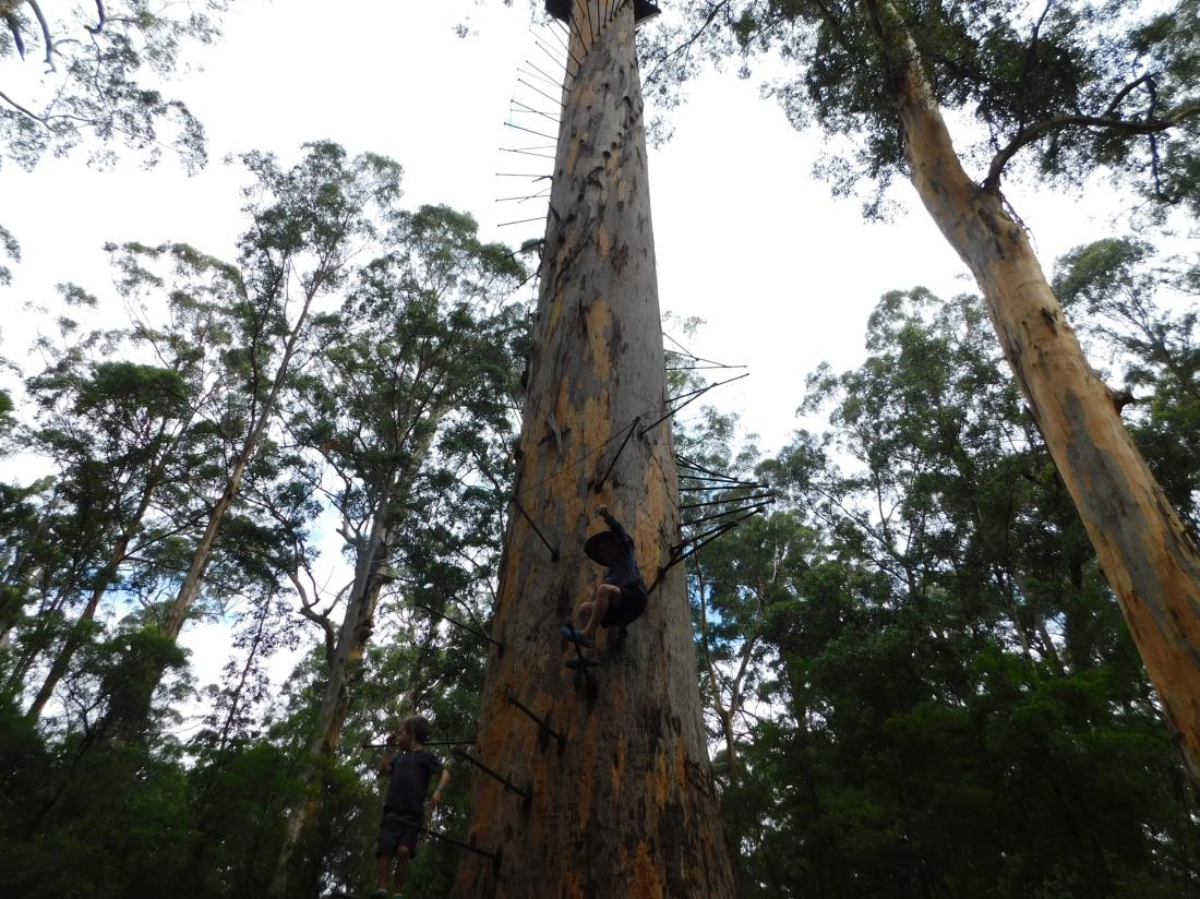 Pemberton - Bicentennial Tree - Karri