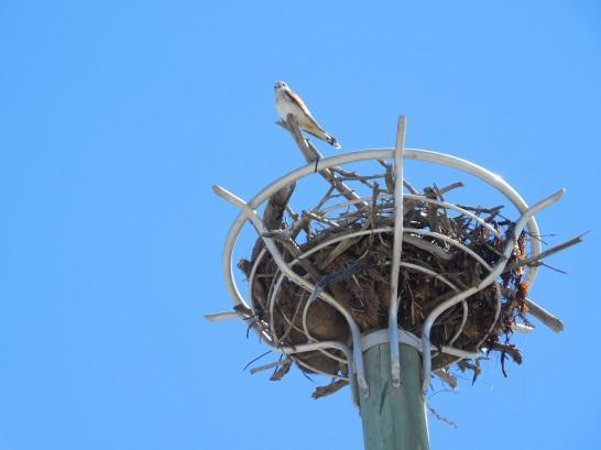 Port Denison raptor on the nest basket