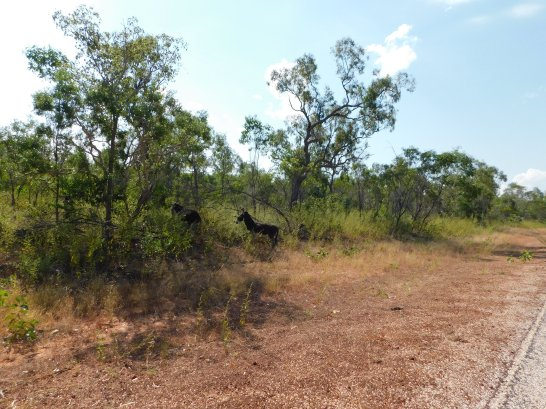 Cape leveque donkeys on the road