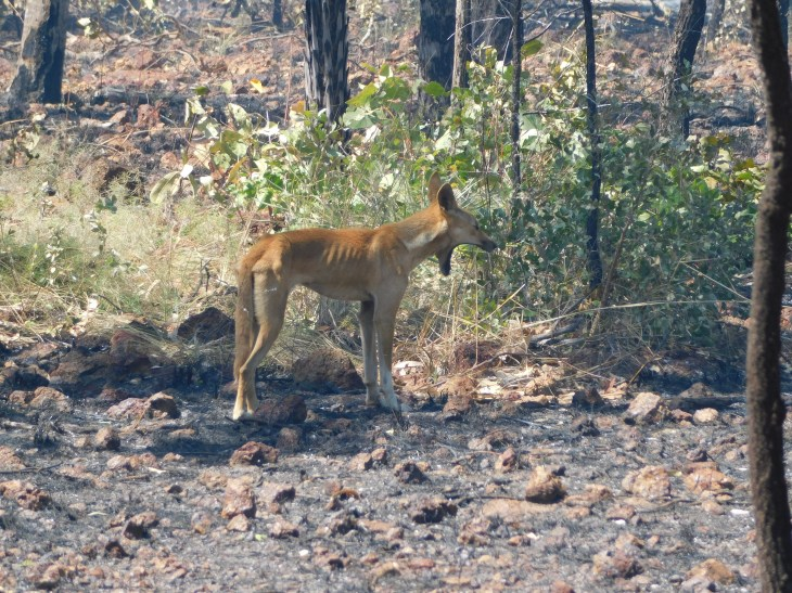 GRR dingo hunting in the burnt area
