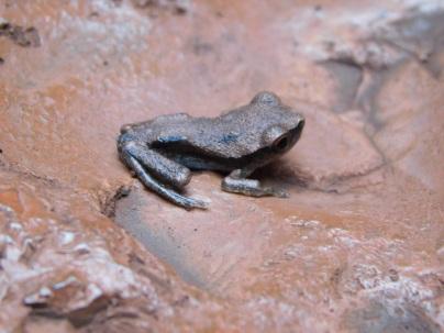 Karijini frog 2