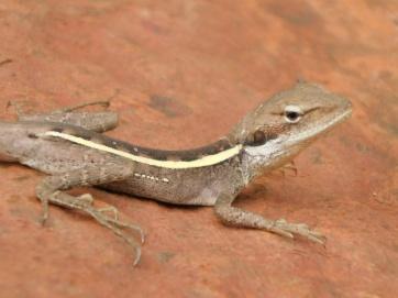 Karijini gecko