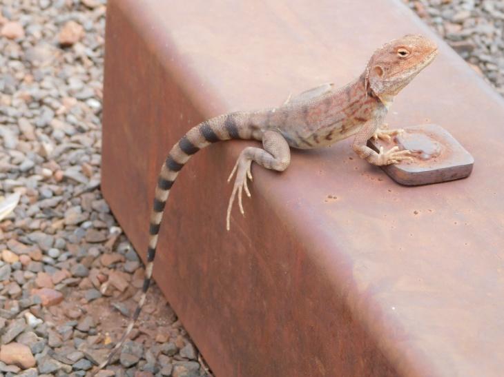 Karijini gecko2
