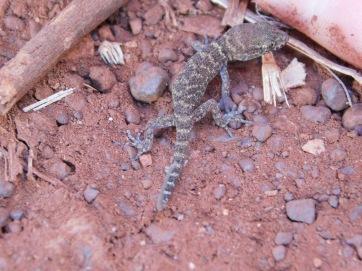Millstream gecko