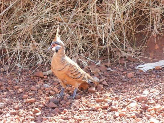 Millstream spinifex pigeon2