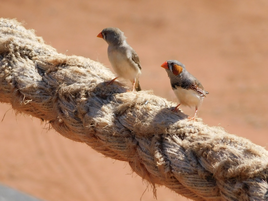 Port Hedland finch