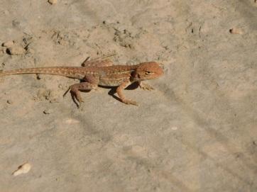 Bungles Lizard
