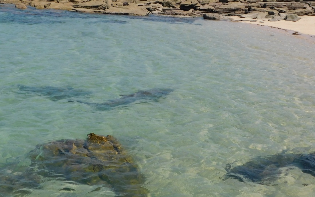 Cape Lev a dozen sharks