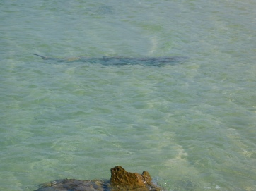 Cape Lev shark at OAP