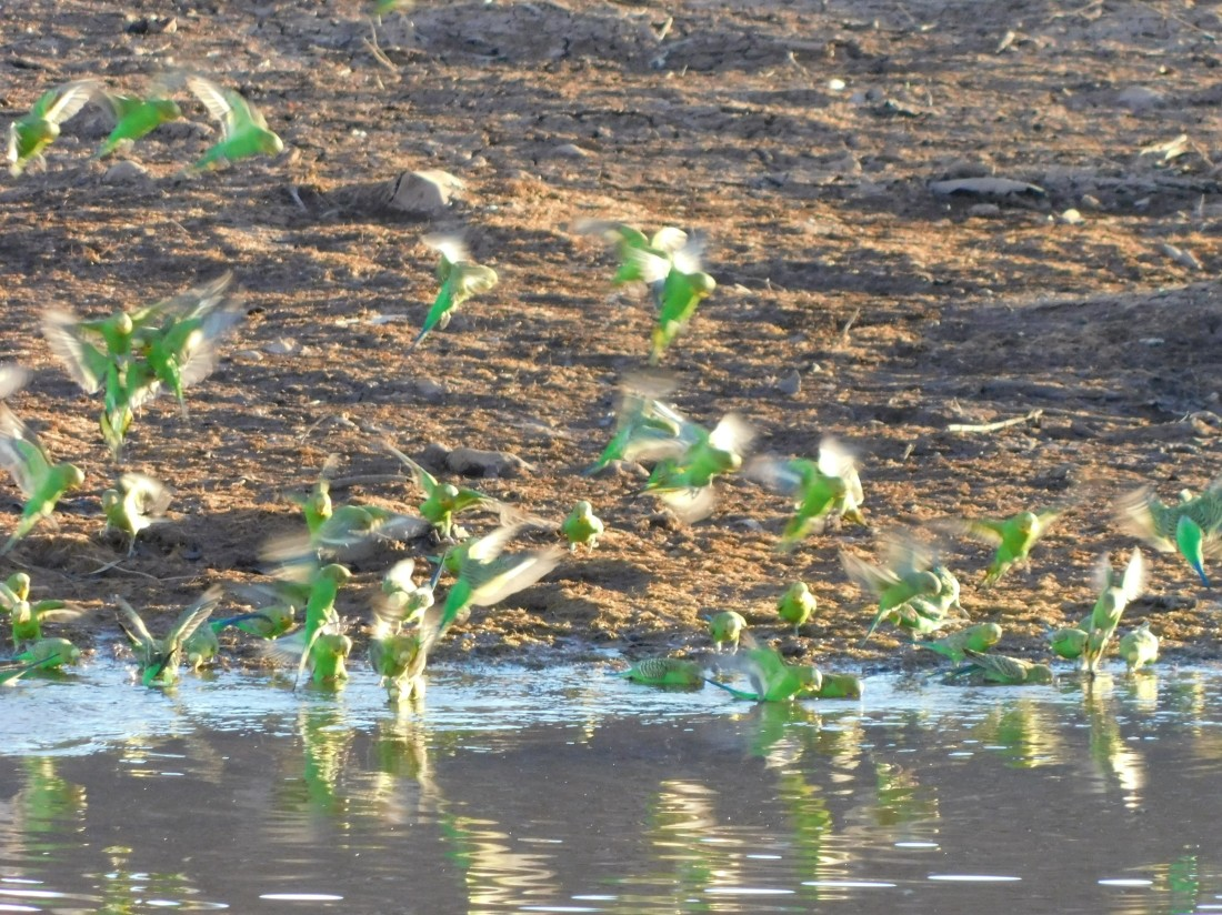 Duncan Road Nigri River Budgie Drinking time