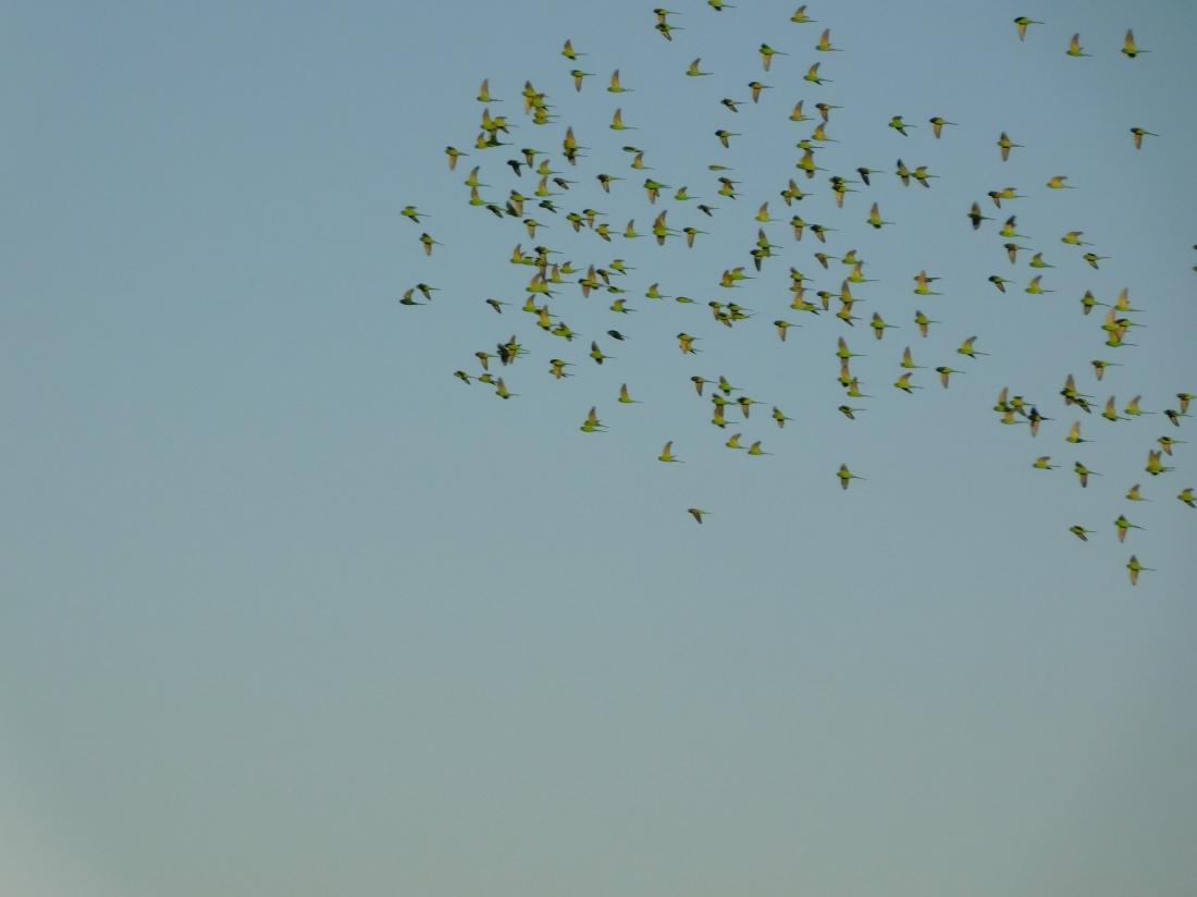 Duncan Road- Nigri River Budgie flock