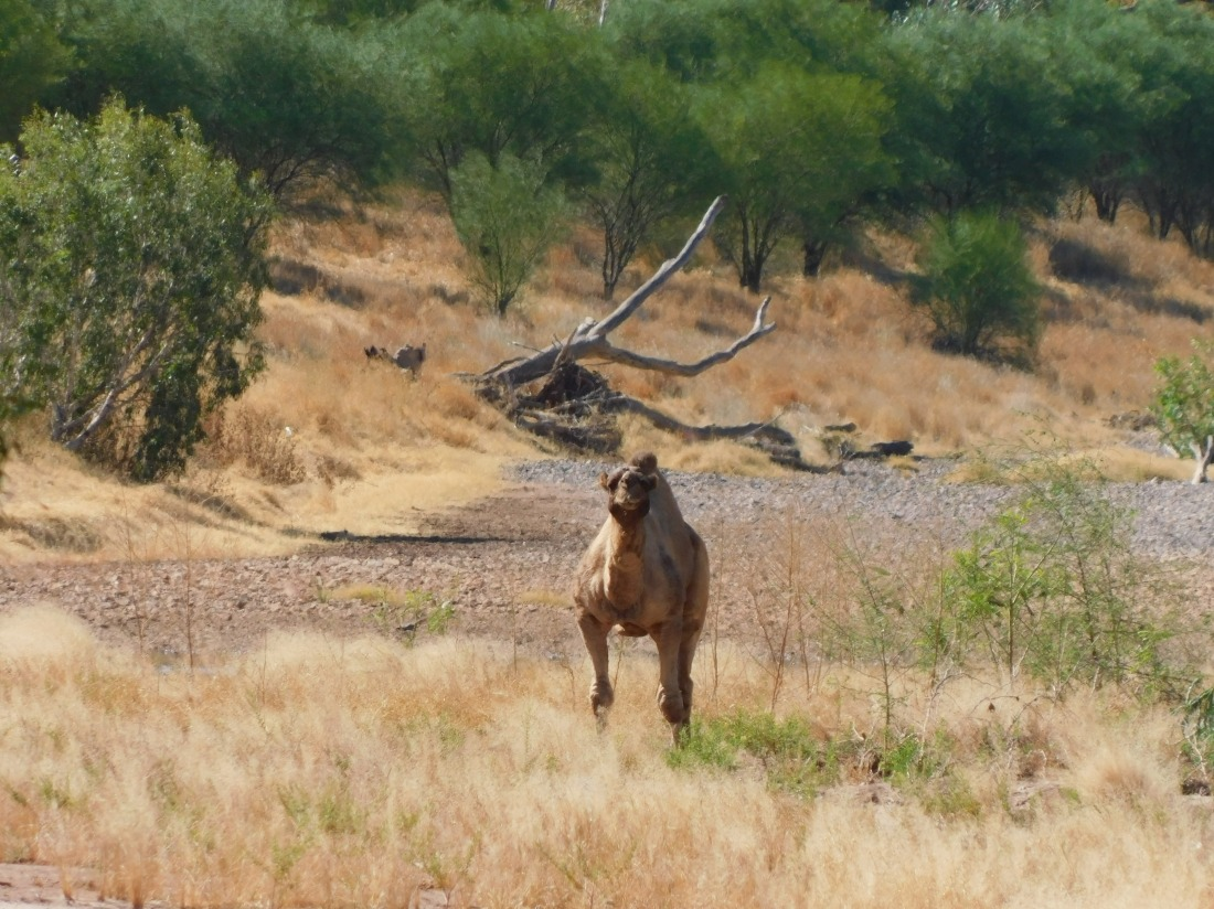 Duncan Road- our first wild camel