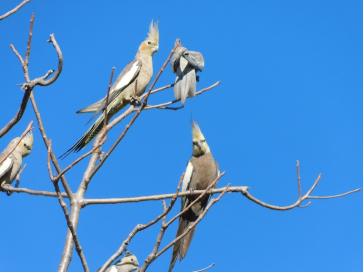 Gregory NP- Cockatiels