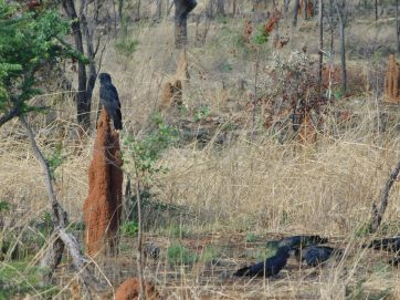 Gregory NP- Red Tailed Black Cockatoo on termite mound