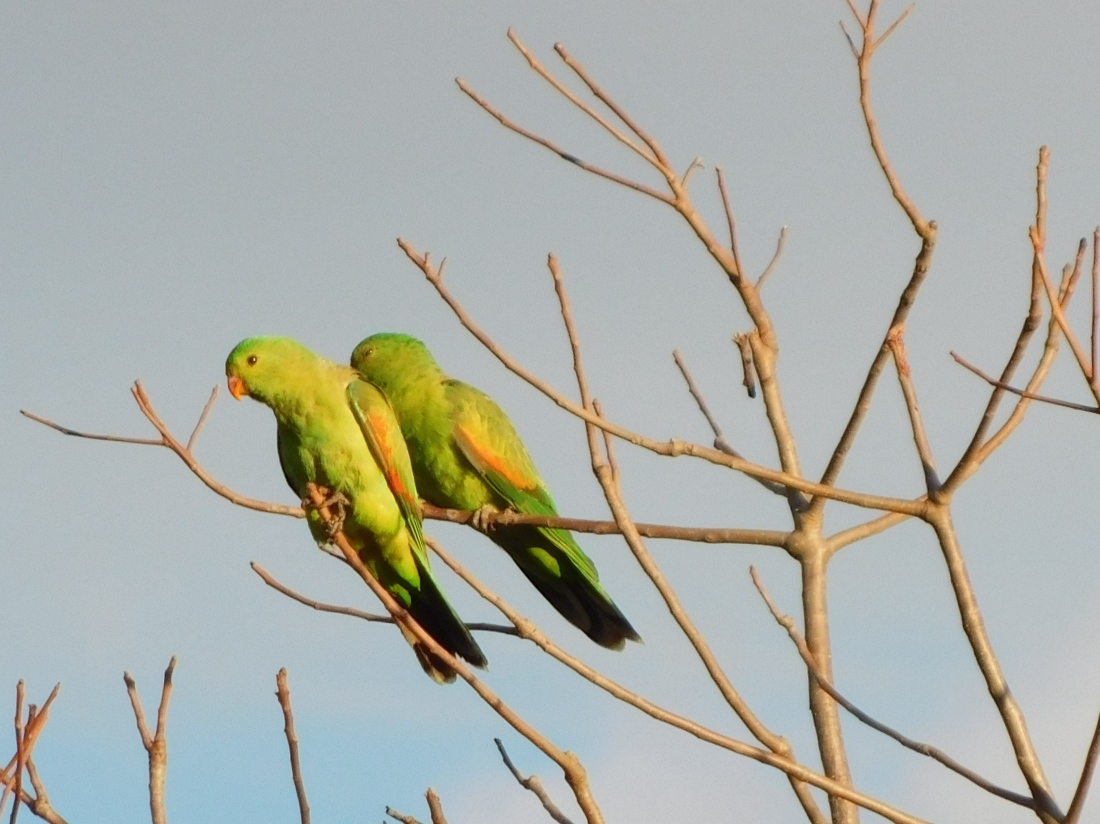 Gregory NP- Red Winged Parrot