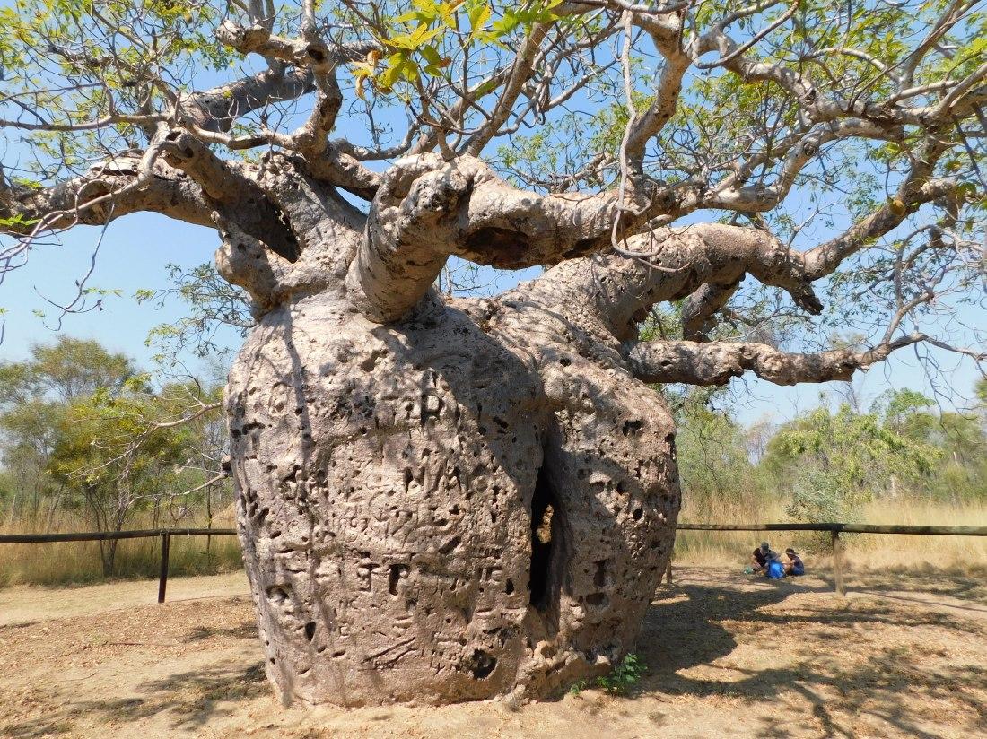 GRR Prison Boab Tree Derby