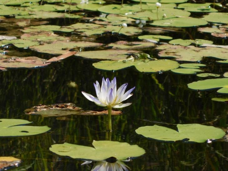GRR wetland lily