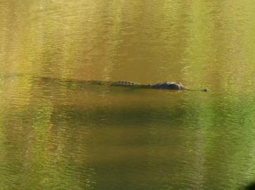 GRR Windjana our first freshie croc sighting