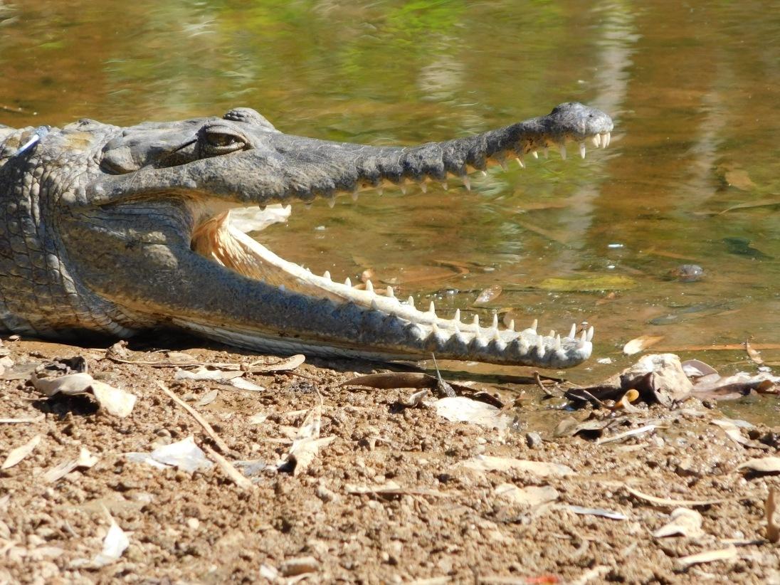 GRR windjana serious croc teeth