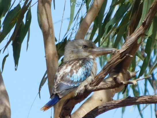 Halls Creek Blue Winged Kookaburra