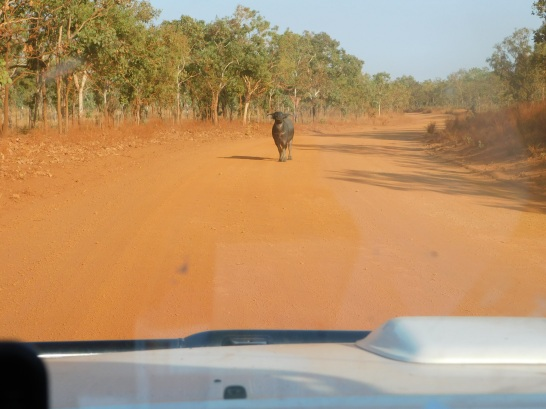 Kakadu Gunlom Buffalo not willing to budge from the road