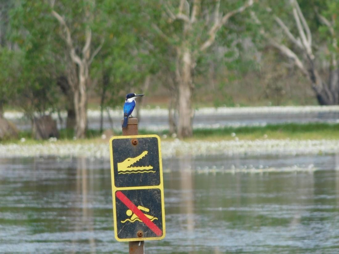 Kakadu Sandy Billabong Kingfisher