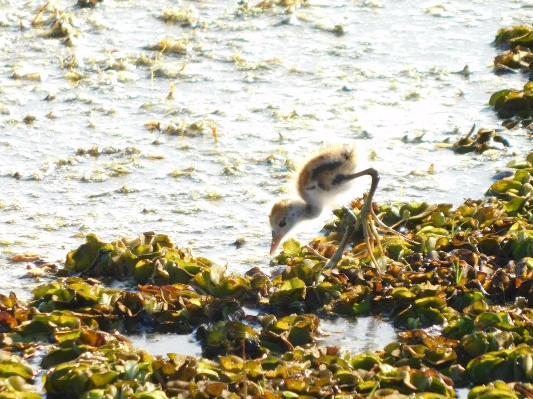Kakadu Yellow water 6 day old Jacana chick