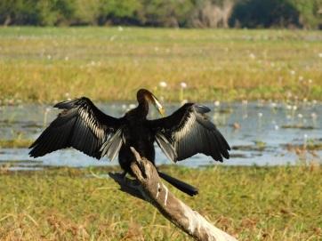 Kakadu Yellow water Cormerant drying wings (2)