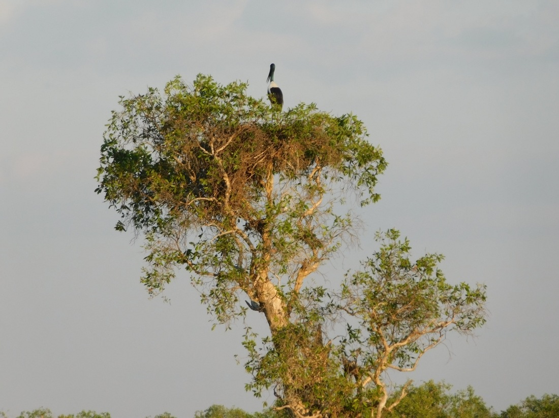Kakadu Yellow water cruise Black Neck Stalk in nest