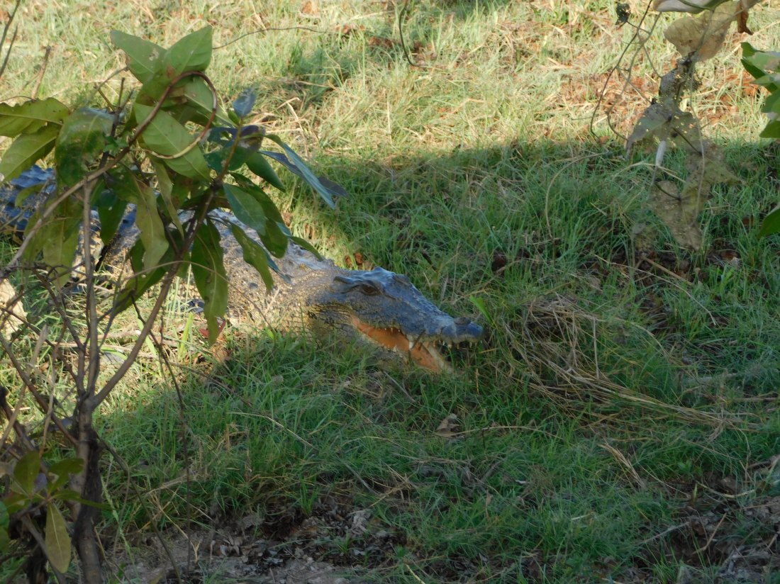 Kakadu Yellow water cruise Croc