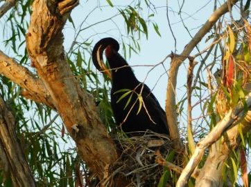 Kakadu Yellow Water Dater in nest